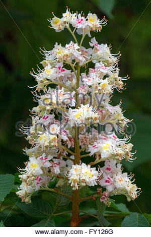 Aesculus hippocastanum, known as horse-chestnut or conker tree - flower - Stock Image