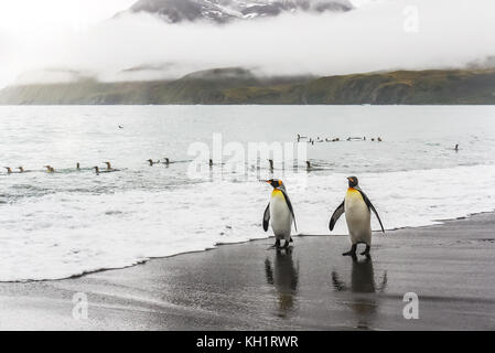 Two adult king penguins (aptenodytes patagonicus) walking toward the camera along the water's edge of a black - Stock Image