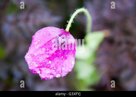 Purple poppies - Stock Image