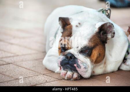 Miserable bulldog lying on the floor - Stock Image