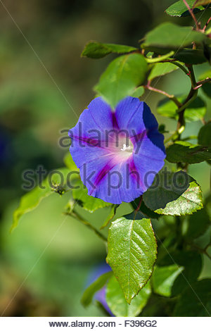 ipomoea tricolor known as morning glory - Stock Image
