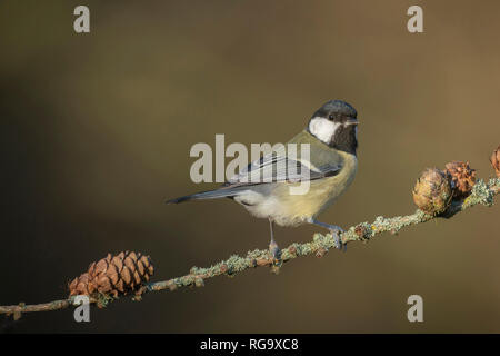 great tit,, perched on larch twig against diffuse background, late winter in oxfordshire - Stock Image