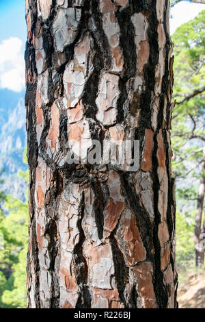 Canary Island pine (Pinus canariensis) burnt tree trunk from forest fire - Stock Image