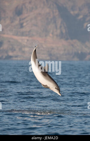 Atlantic Spotted Dolphin, Stenella frontalis, breaching high in the air in front of La Gomera, Canary Islands, Atlantic - Stock Image
