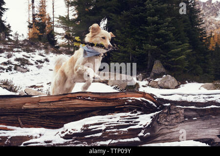 Dog with stick jumping over fallen tree trunk in forest during winter - Stock Image
