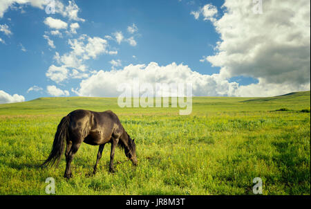 Black mare tethered to a rope grazes on a fresh green grass pasture under a summer sky - Stock Image