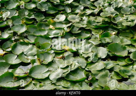 lilly pad pads lillypad lillypads leaves leaf aquatic plant plants ponds pond floating float lilies water Nymphaeaceae - Stock Image