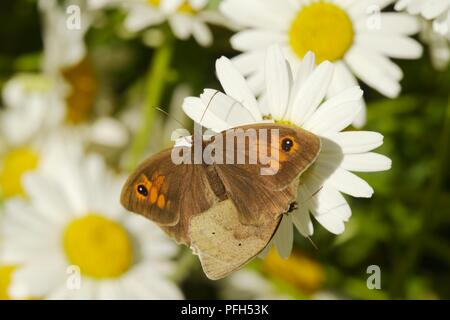 Pyronia tithonus, Gatekeeper or Hedge Brown butterflies mating on Ox eye Daisy flowers, Wales, UK - Stock Image
