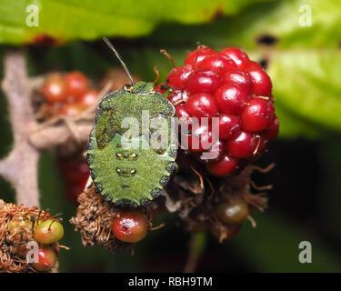 Common green Shieldbug nymph (Palomena prasina) crawling on blackberry. Tipperary, Ireland - Stock Image