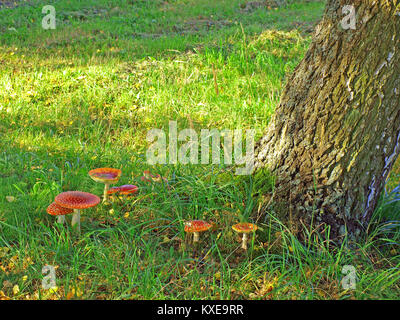 Some fly agaric mushrooms growing on roadside close up - Stock Image