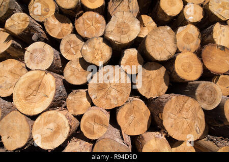 background of a pile of wooden logs, big trunks of tall trees cut, stacked - Stock Image