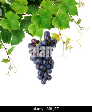 Fresh grapevine with blue grape cluster - Stock Image