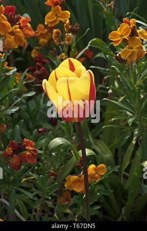 Stunning red & yellow tulip La Courtine amongst the wallflowers - Stock Image