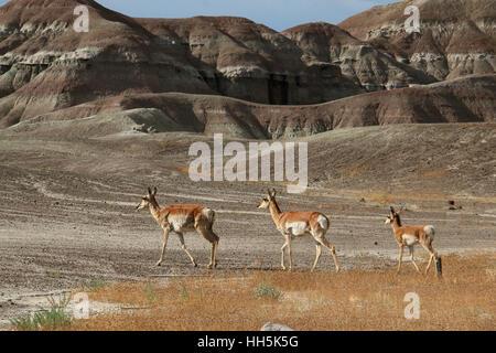 Pronghorn antelope Utah Great Basin desert young - Stock Image