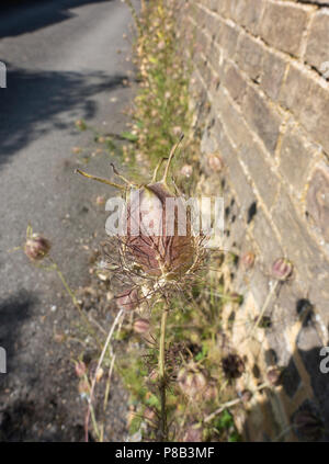 Seed pod of Love -in-a-Mist flower - Stock Image