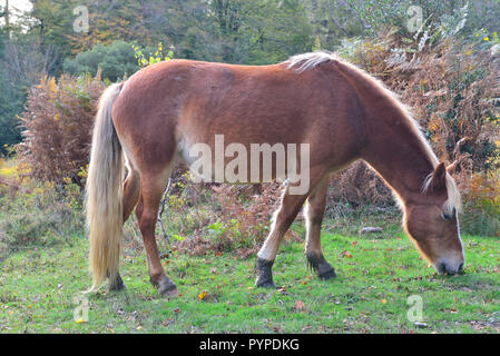 The New Forest pony is one of the recognised mountain and moorland or native pony breeds of the British Isles. - Stock Image