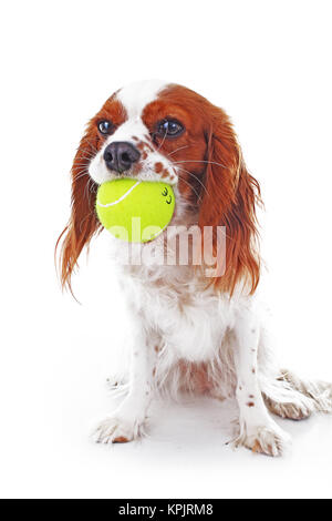 Dog with tennis ball. Cavalier king charles spaniel dog photo. Beautiful cute cavalier puppy dog on isolated white - Stock Image