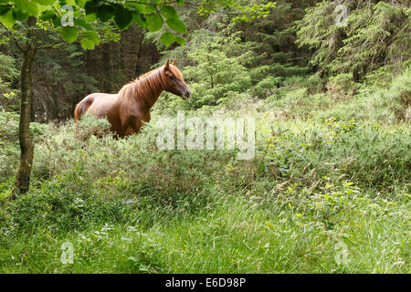Pony grazing freely in woodland on the Quantock Hills in Somerset. - Stock Image