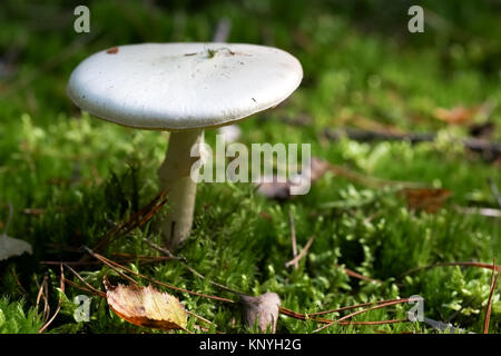 One white mushroom is seen in the moss - Stock Image
