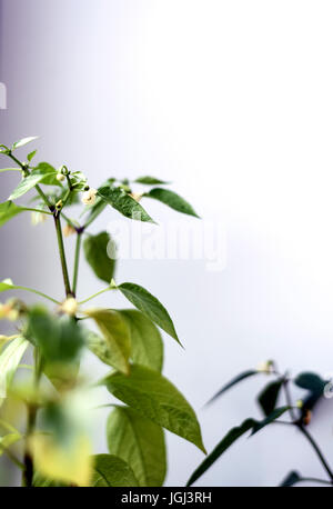 Closeup of White Chili Flowers and Leaves with unfocused lush vibrant foliage - Stock Image