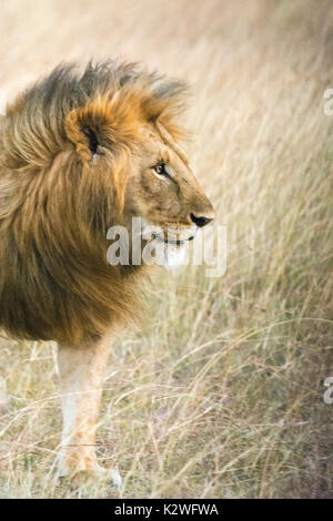 Profile portrait of a male African Lion, Panthera leo, with a huge, beautiful mane, Masai Mara National Reserve, Kenya, East Africa - Stock Image