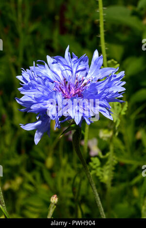 Centaurea cyanus (cornflower) was in the past often found as a weed of cornfields but is now endangered by agricultural intensification. - Stock Image