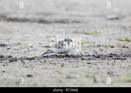 The common house martin, Latin name Delichon urbicum,  sometimes called the northern house martin or, particularly in Europe, just house martin collec - Stock Image