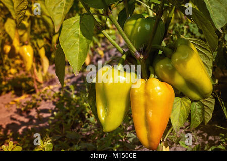 Closeup of ripening peppers in the home pepper plantation. Fresh Yellow and Orange sweet Bell Pepper Plants, Paprika - Stock Image