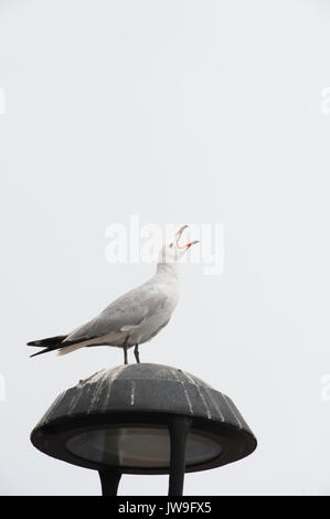Audouin's Gull, (Larus audouinii), calling from lamp post Ibiza, Balearic Islands, Spain, Mediterranean Sea - Stock Image