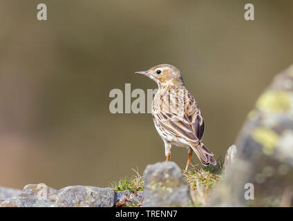 Detailed, close-up rear view of wild, British, meadow pipit bird (Anthus pratensis) isolated in natural outdoor UK grassland habitat standing in sun. - Stock Image