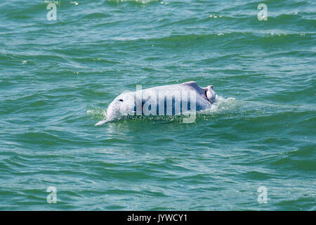 Indo-Pacific Humpback Dolphin (Sousa chinensis) with a broken dorsal fin, probably from boat propellers. - Stock Image