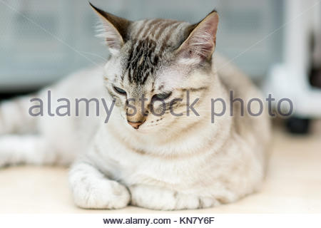 Light-haired fur color female common cat resting on the sofa in the living room. - Stock Image