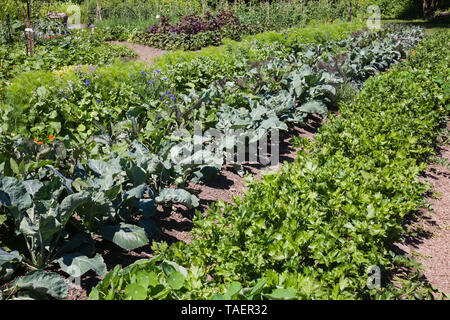 Rows of Apium graveolens - Celery and other root vegetable plants including Daucus carota - Carrot in community organic garden plot in summer, Montreal Botanical Garden, Quebec, Canada - Stock Image