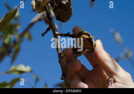 Picking an Almond from the tree with blue sky in the background - Stock Image