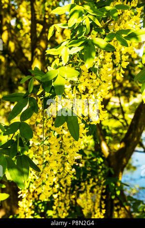 common laburnum, laburnum anagyroides, laburnum flowers, laburnum flowering, laburnum tree, Faboideae, laburnum flower, tree, flower, yellow, flower - Stock Image