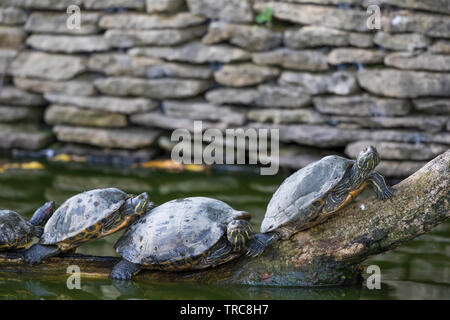 Landscape view of red-eared sliders, terrapins (Trachemys scripta elegans) lined up on a log in a freshwater lake, basking in the autumn sunshine. - Stock Image