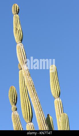 Plants of candelabra cactus (Jasminocereus thouarsii var. thouarsii), a plant endemic to Galapagos. Puerto Baquerizo - Stock Image