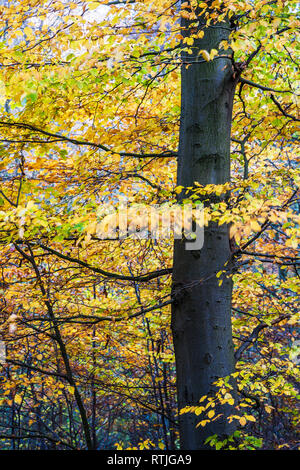 Autumn in Buckholt Wood in the Cotswolds, Gloucestershire. - Stock Image