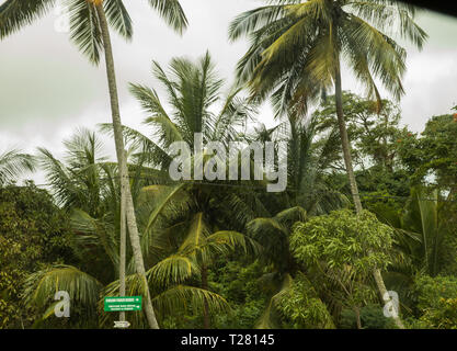 Palm trees in Barbados, The Caribbean - Stock Image