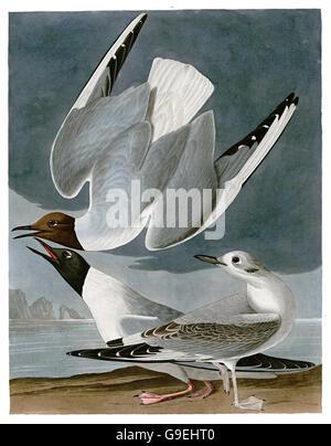 Bonaparte s Gull, Larus philadelphia, birds, 1827 - 1838 - Stock Image