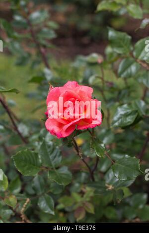Jiminy Cricket floribunda rose at the Owen Rose Garden in Eugene, Oregon, USA. - Stock Image