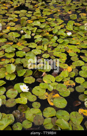 White and yellow Nymphaea - water lily flowers on the surface of a pond - Stock Image