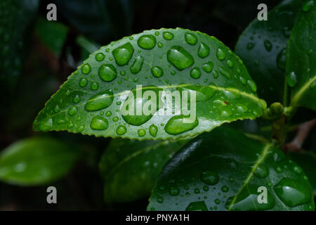 Water drops on Camellia leaves - Stock Image