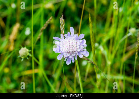 Small scabious Scabiosa columbaria, Cressbrook Dale NNR Peak District National Park June 2014 - Stock Image