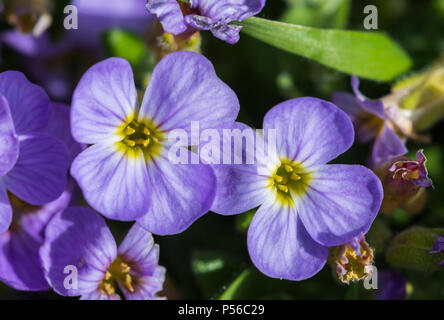 Purple Rock Cress (Aubrieta deltoidea) plant and flowers growing in Spring in the UK. - Stock Image