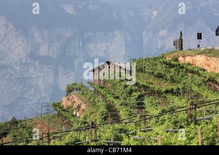 Vineyard in the Alps, Trentino region, Italy - Stock Image