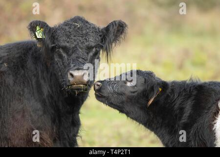Galloway cattle (Bos taurus), cow and calf, Suffolk, England, United Kingdom - Stock Image