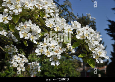 Pear Blossom (Pyrus) - Stock Image