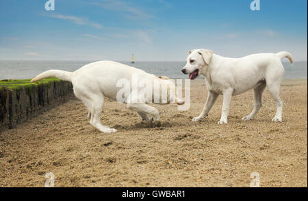 two cute little dogs play at beach - Stock Image
