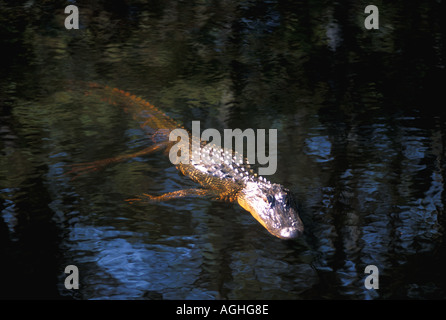 American Alligator swimming in clear tannin stained water of cypress pond Florida FL Louisiana - Stock Image